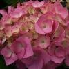 Picture of Hydrangea Piamina