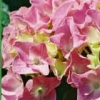 Picture of Hydrangea Pink Bouquet