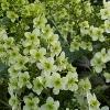 Picture of Hydrangea Quercifolia Snowflake