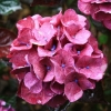 Picture of Hydrangea Raspberry Crush