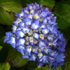 Picture of Hydrangea Renate Steiniger