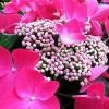 Picture of Hydrangea Strawberries and Cream
