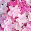 Picture of Hydrangea YouMe Passion
