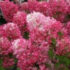 Picture of Hydrangea paniculata Diamond Rouge