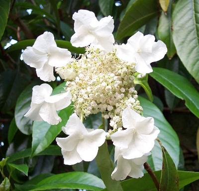 Picture of Hydrangea seemanii