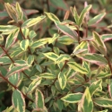 Picture of Hypericum Tricolour
