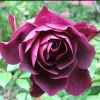 Picture of Iceberg Burgundy Std 45cm-Rose