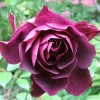 Picture of Iceberg Burgundy Std 80cm-Rose