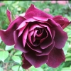 Picture of Iceberg Burgundy-Rose