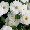 Picture of Iceberg Bush-Rose