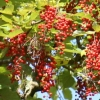 Picture of Idesia Polycarpa Kentucky Fry