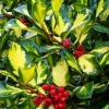 Picture of Ilex Altaclarensis Lawsoniana