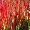 Picture of Imperata Cylindrica Red Baron