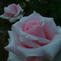 Picture of Integrity Std 80cm-Rose