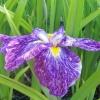Picture of Iris Higo Yashaboshi