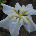 Picture of Iris Kaempferi Snow Queen