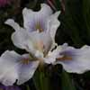 Picture of Iris Pacifica Mixed