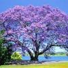 Picture of Jacaranda Mimosifolia