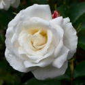 Picture of Jack Frost Std 80cm-Rose