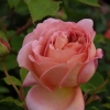 Picture of Jubilee Celebration Std 80cm-Rose