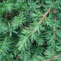 Picture of Juniperus Conferta STD