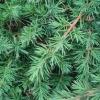 Picture of Juniperus conferta