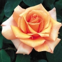 Picture of Just Joey Std 80cm-Rose