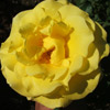 Picture of Kaiteri Gold Clg-Rose