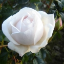 Picture of Kiss the Bride-Rose