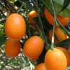 Picture of Kumquat Fortunella Nagami