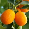 Picture of Kumquat Meiwa