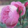 Picture of La Reine Victoria-Rose