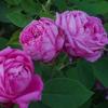 Picture of La Reine-Rose