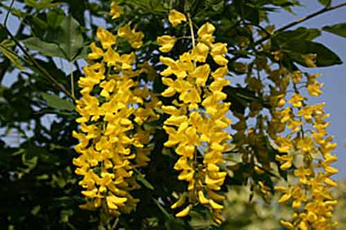 Picture of Laburnum Watereri Vossii