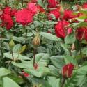 Picture of Ladies Night-Rose