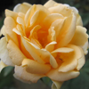 Picture of Lady Hillingdon-Rose
