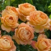 Picture of Lady of Shalott-Rose