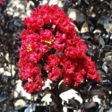 Picture of Lagerstroemia Best Red
