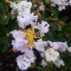 Picture of Lagerstroemia Samba