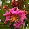 Picture of Lagerstroemia Indica