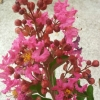 Picture of Lagerstroemia Mrs Dickson