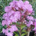 Picture of Lagerstroemia Soire D Ete
