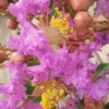 Picture of Lagerstroemia Tango