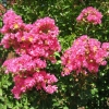 Picture of Lagerstroemia indica Bergerac
