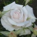 Picture of Land Of The Long White Cloud-Rose