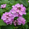 Picture of Lantana Montevidensis