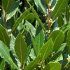 Picture of Laurus Nobilis Pride Of Provence Std 120 cm