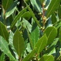 Picture of Laurus Nobilis Pride of Provence Std 110cm