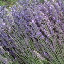 Picture of Lavender Arabian Night
