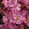 Picture of Lavender Dream 1.5m Pillar-Rose